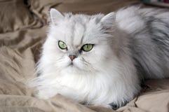 kattperser Arkivfoton