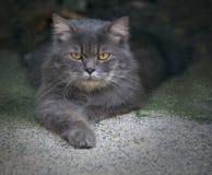 kattperser royaltyfria bilder