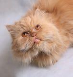 kattperser Arkivfoto