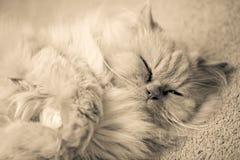 kattperser Arkivbilder