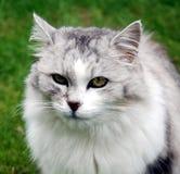 kattperserstående Arkivfoton