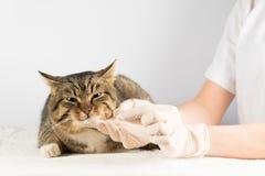 Kattpiller Sjukt djur vet medicinkatt att ge katten ett piller royaltyfri foto
