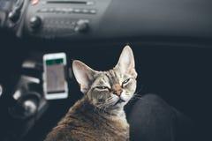 Kattresande i en bil arkivfoton