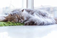 Kattsömn på grön matta nära fönster arkivfoton
