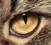 Katts slut för öga upp Arkivfoto