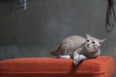 Kattsammanträde på den skrapade orange tygsoffan Arkivbilder