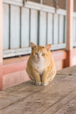 Kattsammanträde på den wood tabellen Royaltyfri Foto
