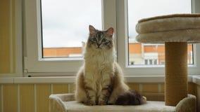 Kattsammanträde på katthylla på balkongen anhydrous arkivfoto