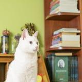 Kattsammanträde på sekreteraretabellen Arkivbilder