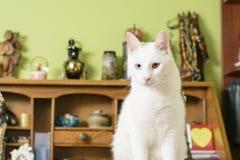 Kattsammanträde på skrivbordet och se framme av den Fotografering för Bildbyråer