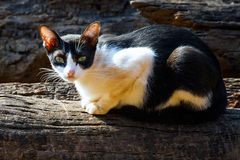 Kattsammanträde på timmer royaltyfri bild