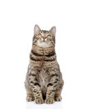Kattsammanträde som är främst och ser upp Isolerat på vit backgroun arkivbilder