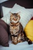 Kattsammanträde på en soffa Royaltyfria Bilder