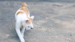 KattSiam katt på cementgolvet Katter som sitter på cementgolvet, vit katt en på cementgolvet, thailändsk katthud stock video