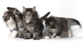kattskognorrman Arkivbilder