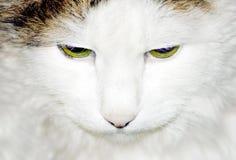 kattskogsiberian royaltyfri bild