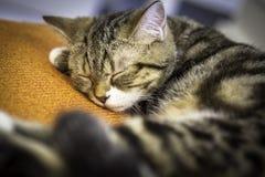 Kattsömn på en kudde Arkivfoto