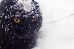 Kattsnövinter, frost, brittisk katt i snön, svart katt, panter Royaltyfria Foton
