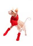 Kattsphinx som är varm med den röda scarfen och sockor Fotografering för Bildbyråer