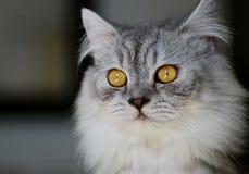 kattstående Royaltyfri Foto