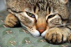 kattstående som sovar upp att vakna Arkivfoton