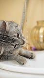 Kattståendeslut upp, katt som spelar med vatten i badrummet, katt i ljus suddighetsbrunt och krämbakgrund som spelar med vatten Royaltyfri Fotografi
