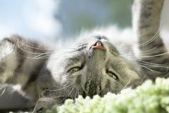 Kattståendeslut upp Katten vänder mot Grå kattunge som ser upp, tätt upp Kattstående, endast head skörd och att se till överkante Arkivfoto