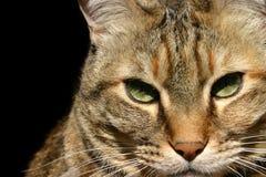 kattståendetabby Arkivfoto