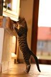 kattstanding Arkivbilder