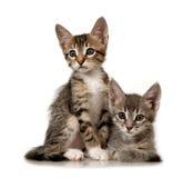 kattungar Arkivfoton