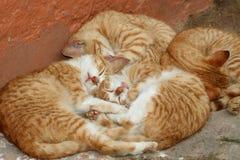 kattungar Arkivbilder