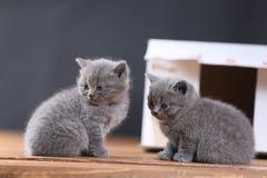 Kattungar i ask Royaltyfri Bild