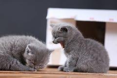 Kattungar i ask Arkivbild