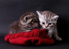 Kattungar i en hatt Arkivfoton