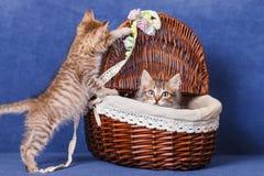 Kattungar i en korg Royaltyfria Bilder