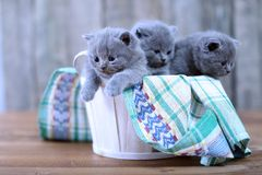 Kattungar i en korg Arkivfoto