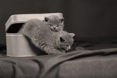 Kattungar i en liten ask Royaltyfri Fotografi
