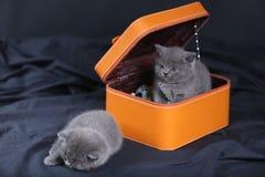 Kattungar i en orange ask Fotografering för Bildbyråer