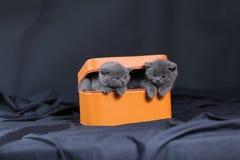 Kattungar i en orange ask Royaltyfri Foto