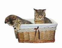 Kattungar i en vide- korg royaltyfri foto
