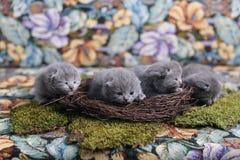 Kattungar i ett rede fotografering för bildbyråer