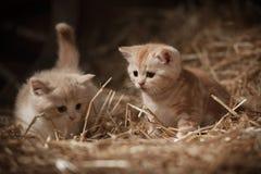 Kattungar i höet Royaltyfria Foton