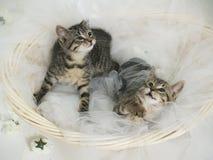 Kattungar i korg Arkivfoto