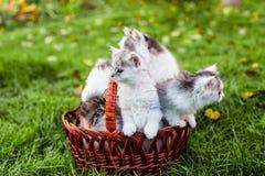 Kattungar i korgen Arkivbild