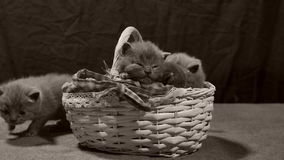 Kattungar jamar i en korg, inomhus stock video