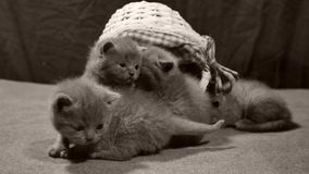 Kattungar jamar i en korg, inomhus lager videofilmer