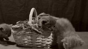 Kattungar jamar i en korg, inomhus arkivfilmer