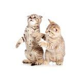 kattungar little som tillsammans leker två Royaltyfri Bild
