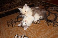 kattungar little som tillsammans leker två Royaltyfria Bilder