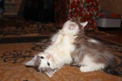 kattungar little som tillsammans leker två Royaltyfri Foto